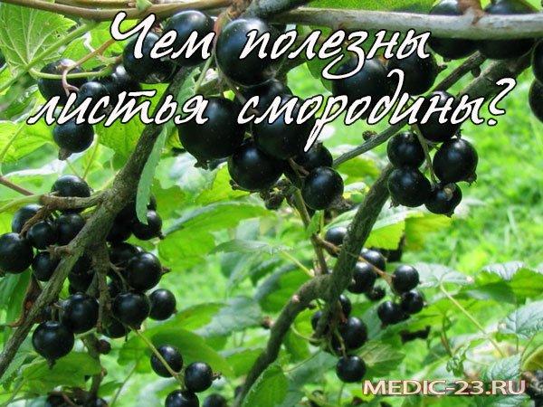 Листья смородины: полезные свойства